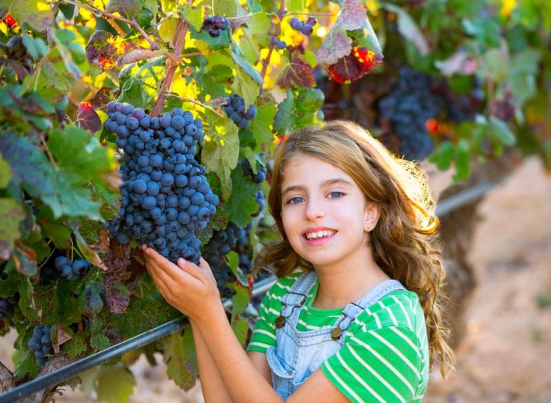 Я готовлю виноград к зиме всего за 5 шагов — и никакие угрозы ему не страшны