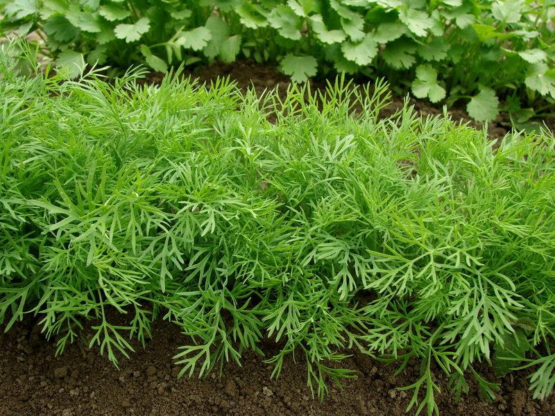 Для многих культур я предпочитаю подзимний посев — что можно посадить осенью, чтобы собрать урожай как можно раньше