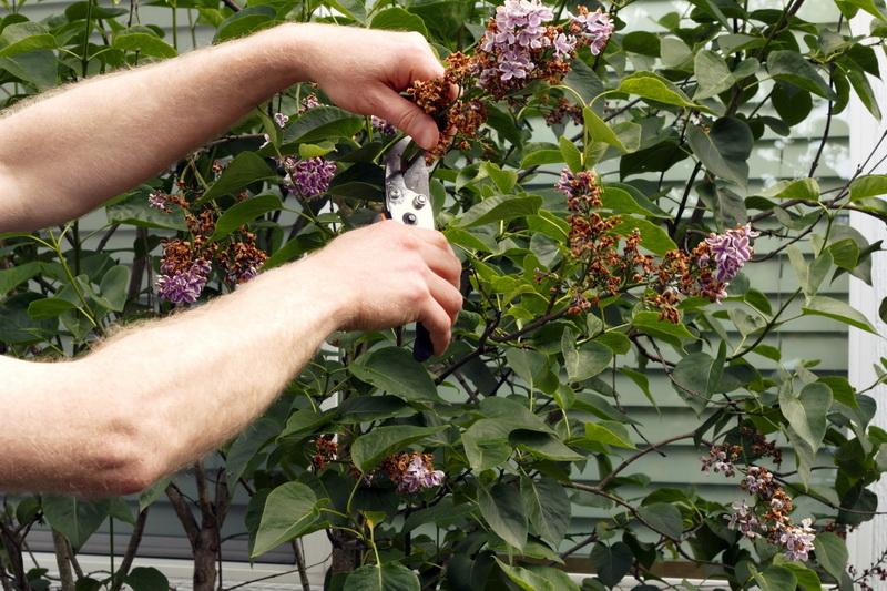 Как я ухаживаю за кустами сирени осенью — комплекс мероприятий, помогающий мне получать шикарное пышное цветение