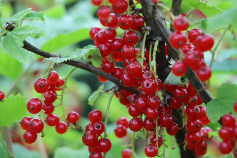 У моей смородины всегда отличные урожаи — я устранил главные причины, приводящие к отсутствию ягод. Делюсь опытом и знаниями