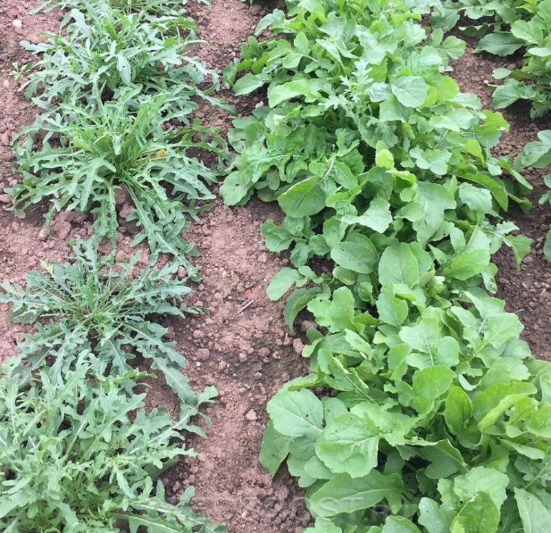 Как я выращиваю пряную и ароматную рукколу на своем участке и применяю любимую «травку» для приготовления блюд