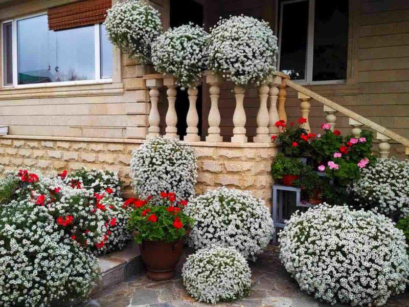 Алиссум — ароматное и неприхотливое украшение моего участка и балкона. Рассказываю, как посадить, ухаживать и наслаждаться его шикарным видом