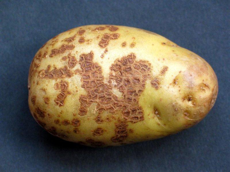Сорта картофеля, которые не одолеть болезням. Выбираю их, чтобы не терять урожаи