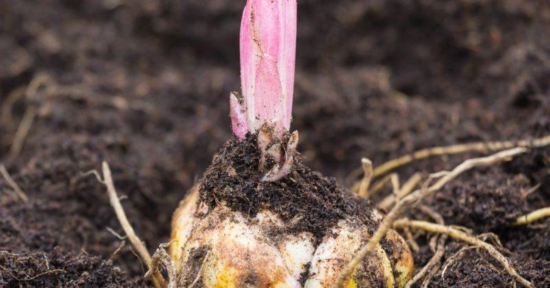 Луковичные растения проросли осенью — что делать?