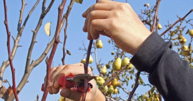 Как я ухаживаю за грушами осенью — 7 мероприятий для удачной зимовки и отличного урожая