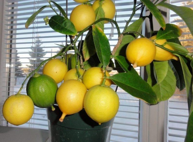 Мой шикарный цитрусовый сад на подоконнике. Как ухаживать за растениями в зимнее время