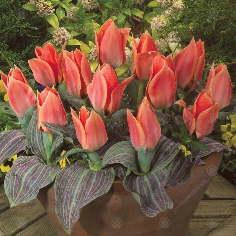 Очень «удобные» сорта тюльпанов — можно сажать осенью и даже не выкапывать в конце сезона цветения. Рассказываю про моих любимчиков — «дикие» разновидности