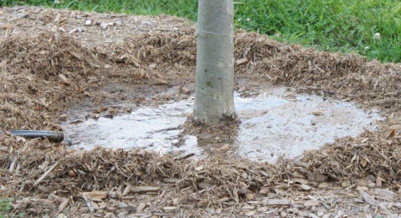 Всегда выполняю осенний влагозарядный полив плодовых деревьев — сад зимует отлично. Рассказываю про правила и особенности